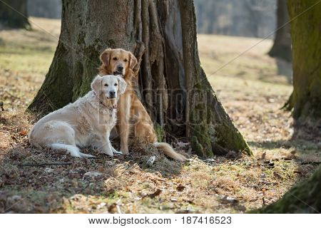 Portrait of two dogs (golden retriever)