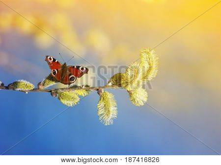 beautiful butterfly fly and collect nectar in the spring with fluffy willow branches