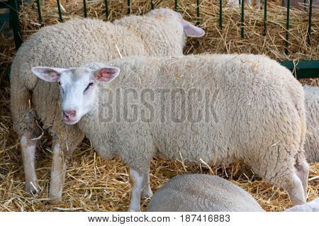 Sheep at the fair exhibitions in Novi Sad Serbia