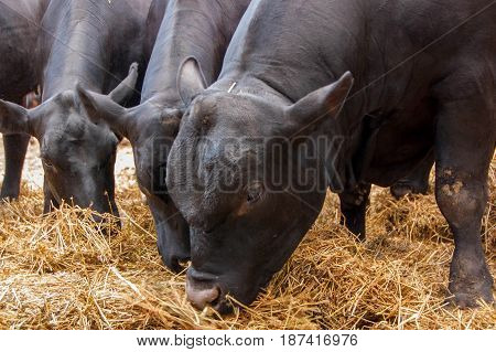 Close up of young black bulls eating hay