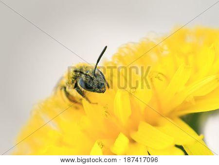 little honey bee gathers nectar from yellow flower of dandelion