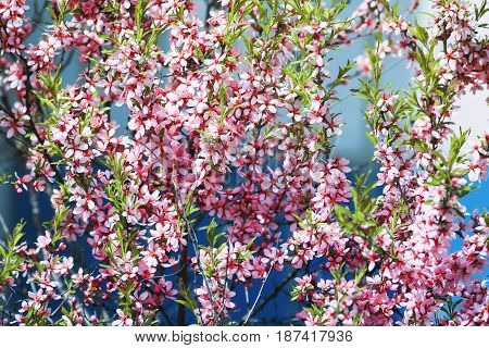 beautiful shrub with pink flowers blooming in spring garden