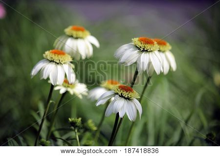 Blooming daisy bunch in a sunny field