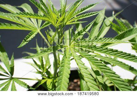 Marijuana Plant Close Up High Quality Stock Photo
