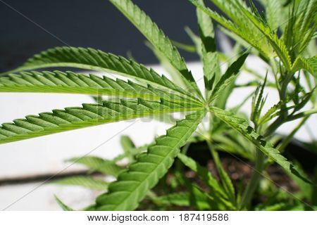 Cannabis Leaf Close Up High Quality Stock Photo