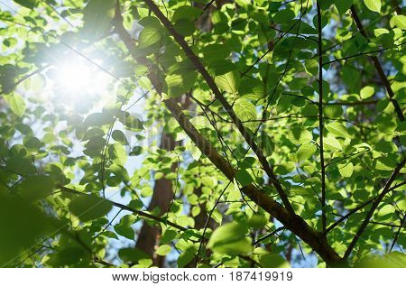 The leaves of the trees shine through the sunlight. Biological diversity.