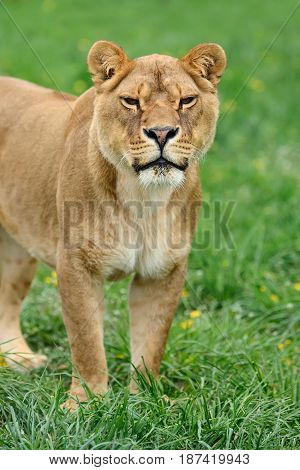Close up young lion in green grass
