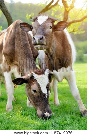 Brown two cows on a summer pasture