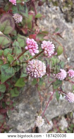 Flores pequenas de cor rosa em fundo com pedras