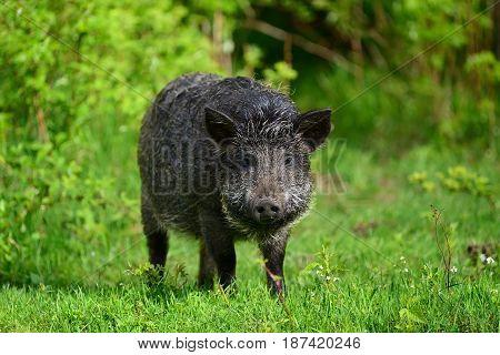 Wild Boar In Forest
