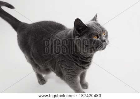 Gray British Shorthair cat playing on white background