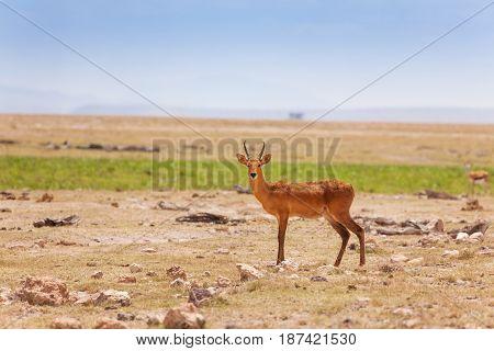 Portrait of single male oribi standing in deserted savannah, Kenya, Africa