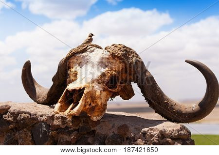 Close-up picture of buffalo skull with little bird sitting on it