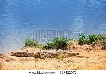 Portrait of Nile crocodile basking in the sunshine on the riverside, Africa
