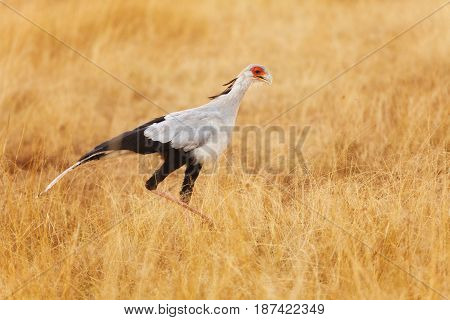 Close-up picture of secretary bird hunting its prey on foot among the tall dried grass of African savannah
