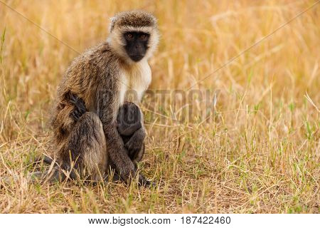 Portrait of female vervet monkey feeding baby sitting in dried grass of Kenyan savannah, Africa