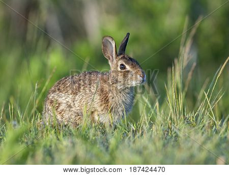 Eastern Cottontail Rabbit In Deep Grass Near Forest Edge