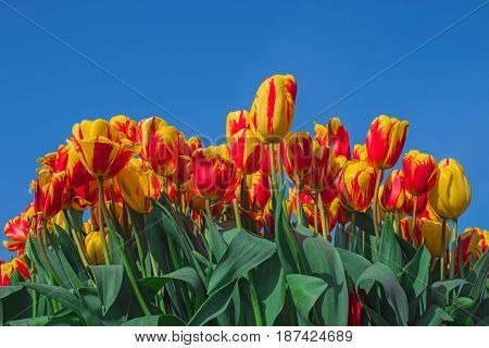Colorful tulip flowers on blue sky background. Blooming tulips close up Keukenhof garden Netherlands Europe. Spring outdoor scenery. Flower bed in park. Beautiful romantic landscape.
