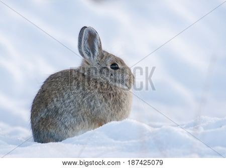 Mountain Cottontail Rabbit On Deep Snow Looking Cold In The Winter Time
