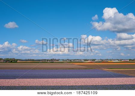 Aerial view of flower fields Netherlands Europe. Famous bulb fields with colorful flowers in Holland. Dutch farm with tulips. Beautiful spring landscape. Blooming flowers in North Holland