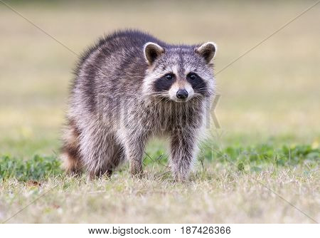 Raccoon Standing On Green Grass In Middle Of Field In County Park In Florida