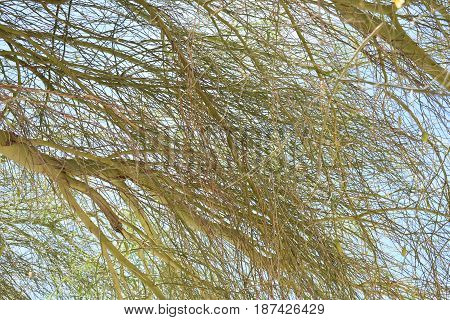 A view of mesquite branches on a sunny day