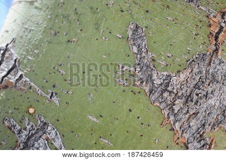 A closeup of a tree trunk, Mesquite