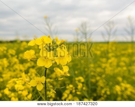 Rapeseed field in sunset canola plant close up