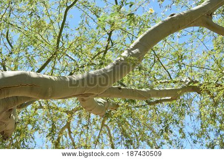 A mesquite tree branch and leaves with the sun shining