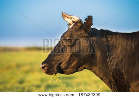 Close Up Portrait Of Black Cow In Meadow Or Field With Green Grass In Mouth. Cow Chewing Grass