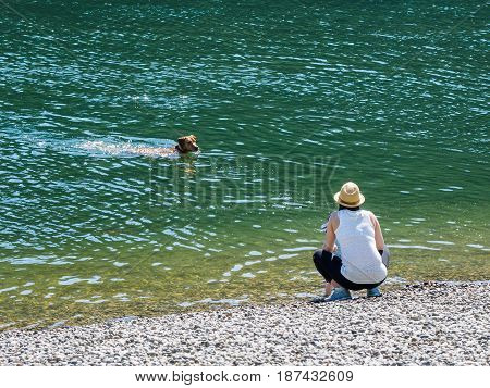 Dog (Labrador) swims in green water returning to the woman waiting on the shore