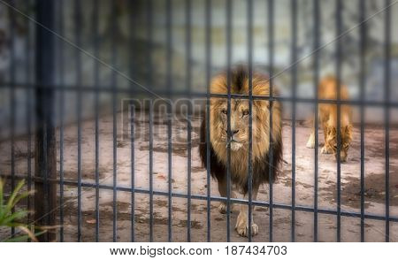 adult lion with a mane in a cage. close-up predator.