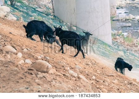Small herd of black goats on a rocky hillside with two adult goats fighting