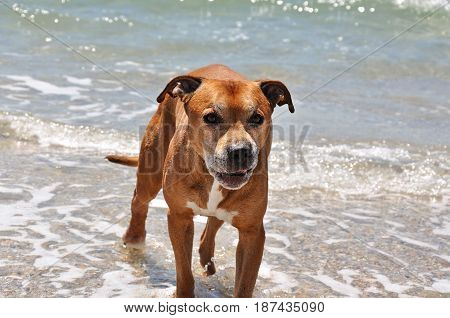 wicked red american pit bull terrier on the background of the sea