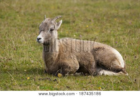 Ewe Bighorn Sheep Ruminating On Grass In Profile View