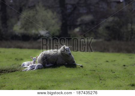 Ewe sheep lying down with spring lambs. English rural countryside scene.