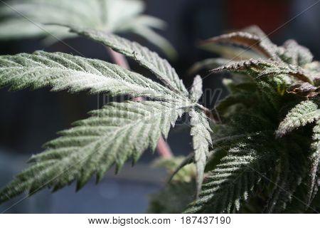 Marijuana Leaf Close Up High Quality Stock Phoito