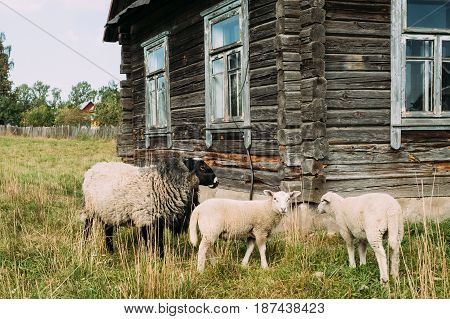 Sheep Grazing On Grass Near Old Russian Traditional Wooden House In Village Or Countryside Of Belarus Or Russia Countries.