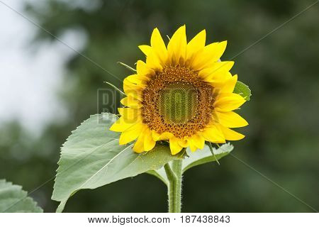 Sunflower with leaves in Far East Russia