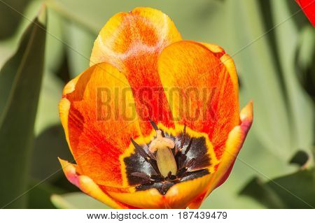 Blooming Flower Of A Red Tulip Macro Close