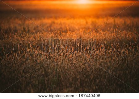 Meadow Grass In Yellow Sunlight And Bokeh, Boke Background. Later Summer Or Early Autumn Season. Sun At Sunset Sunrise Over Horizon Of Field Meadow Grass