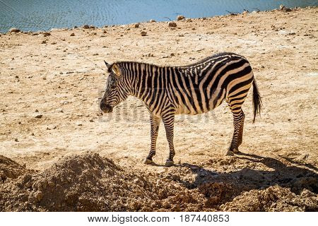 JERUSALEM, ISRAEL - JANUARY 23: Zebra in Biblical Zoo in Jerusalem, Israel on January 23, 2017