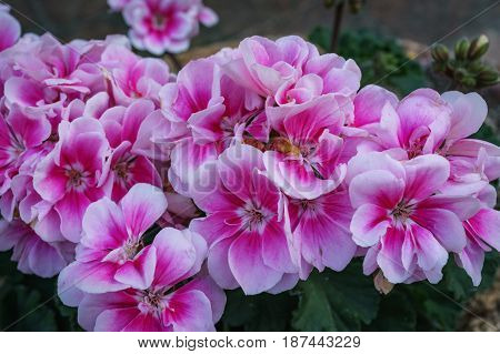 Close up of beautiful pink Impatiens flower in small garden.