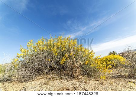 A blooming tickweed bush in Joshua Tree National park grown vibrantly after weeks of rain.