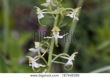 Flower of a greater butterfly-orchid (Platanthera chlorantha) a wild orchid in Europe.