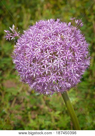Inflorescence of Allium aflatunense Purple Sensation vertical format