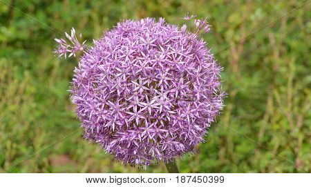 Inflorescence of Allium aflatunense Purple Sensation horizontal format