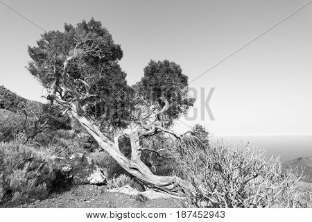 Bent by strong wind tree in highlands of El Hierro, Canary Islands. Black and white image