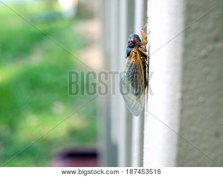 Cicada Seventeen Year