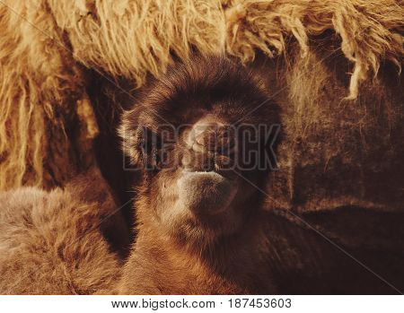 A baby camel next to its motherm outdoor, summer time